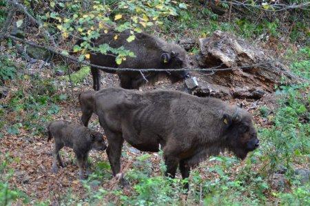 Şahdağ Milli Parkında daha bir zubr balası dünyaya gəlib