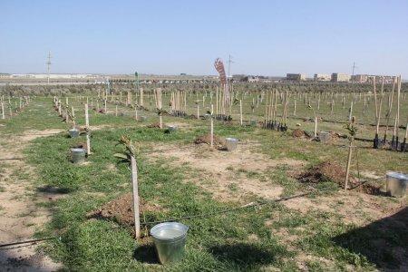 Füzulidə 1 hektar ərazidə müxtəlifcinsli ağac əkilib